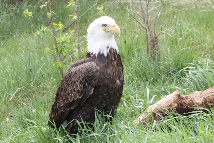 The Eagle Aviary is a must-stop for anyone who loves these majestic birds. There is a large viewing deck inside the aviary from which to watch the park's four bald eagles.