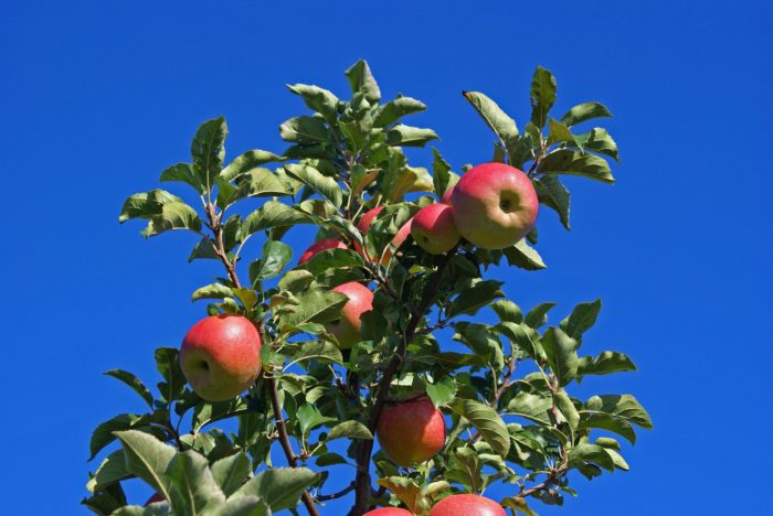 These Pink Lady apples are just one variety of the many that Fifer grows.