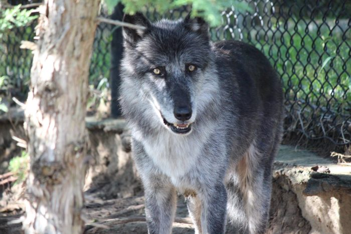 The park's six Grey Wolves are a gorgeous sight if you can catch them up and moving around. In the early morning and late evening, you can hear them howling.