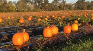 These 7 Charming Pumpkin Patches In Virginia Are Picture Perfect For A Fall Day