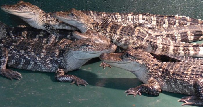 If you're primarily there for the alligators, you won't be disappointed. They've got little guys. . .