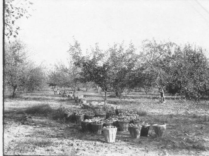 This photograph shows Fifer Orchards in the 1930s.