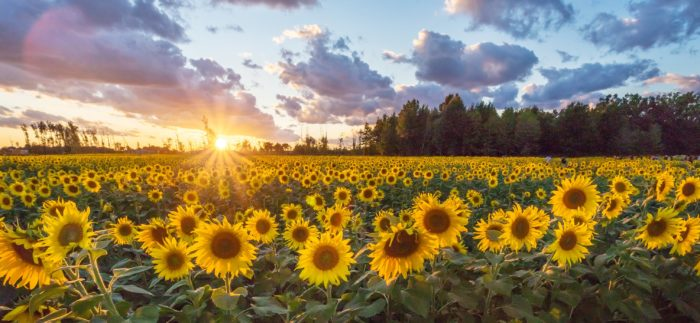 The stunning, 50-acre sunflower field is planted each year by The Prayers From Maria Foundation.