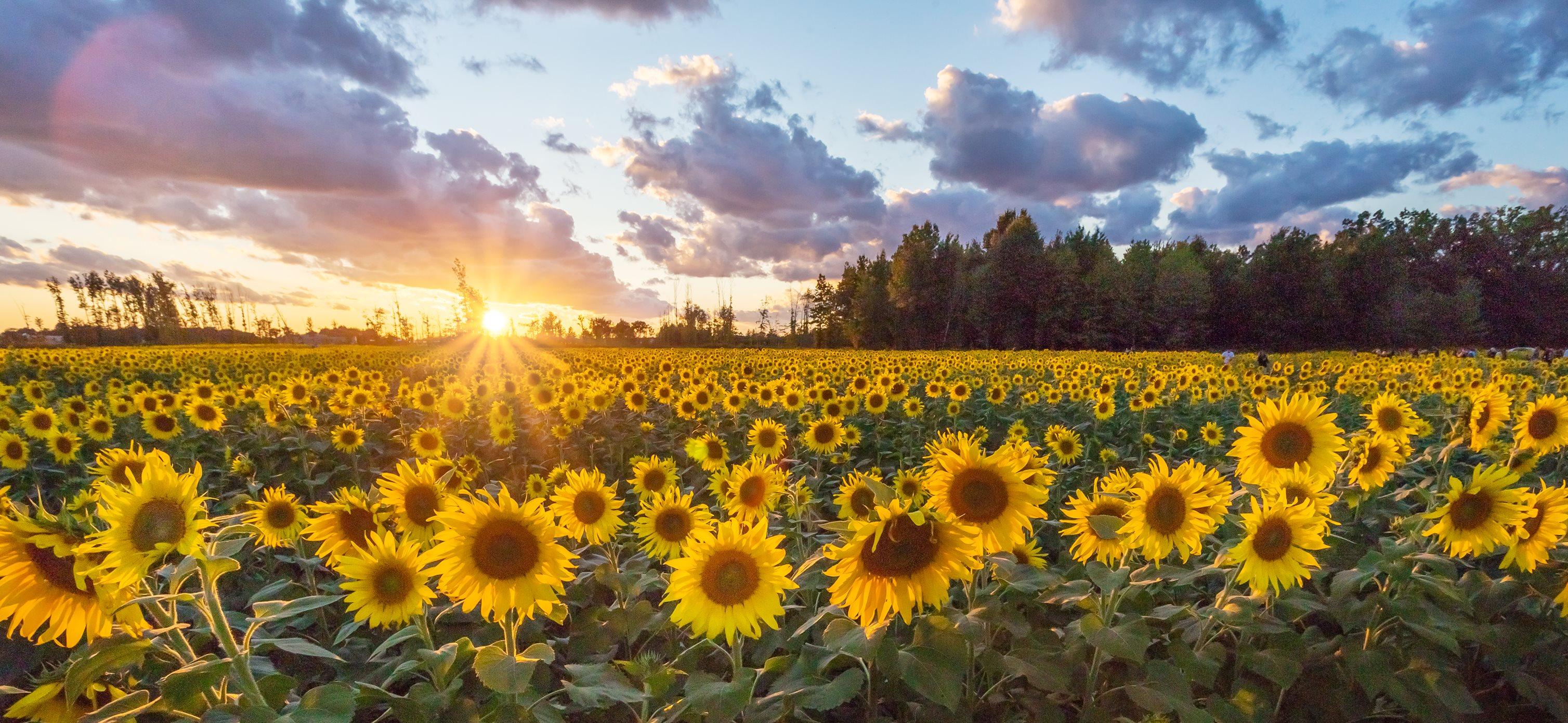 Prayers From Maria Sunflower Field In Avon Ohio