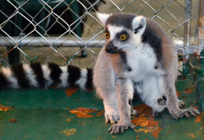 This lemur is a perfectly adorable addition to the farm.