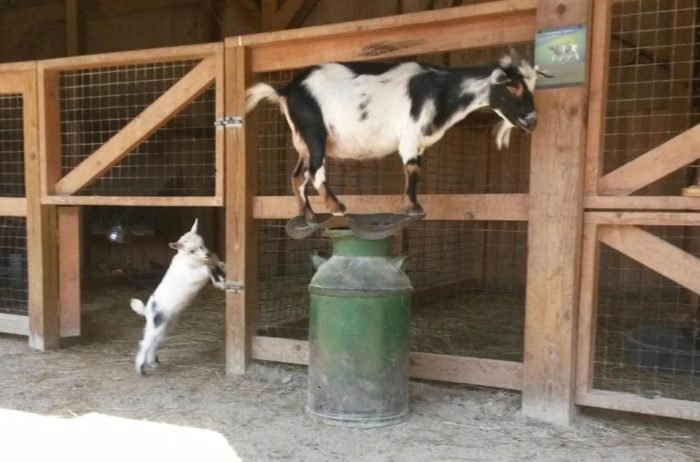 Every kid's favorite part of the park is the Hands-On Corral where they can pet goats and chickens and touch some of the antlers shed by the elk at the park.
