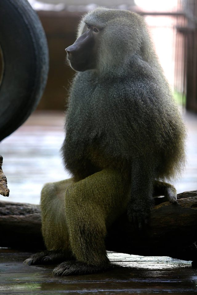 ...and other primates.