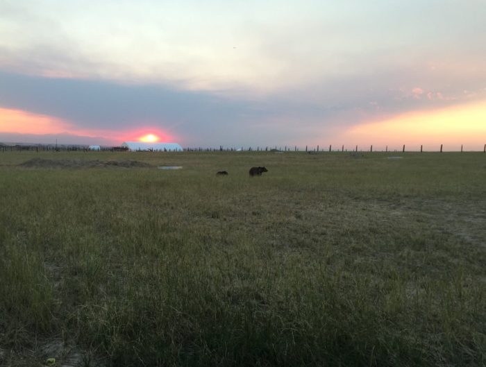 """With the new Welcome Center and walkway in the background, """"Molly"""" and her cub explore their new surroundings for the first time under the light of a Mile High sunset."""