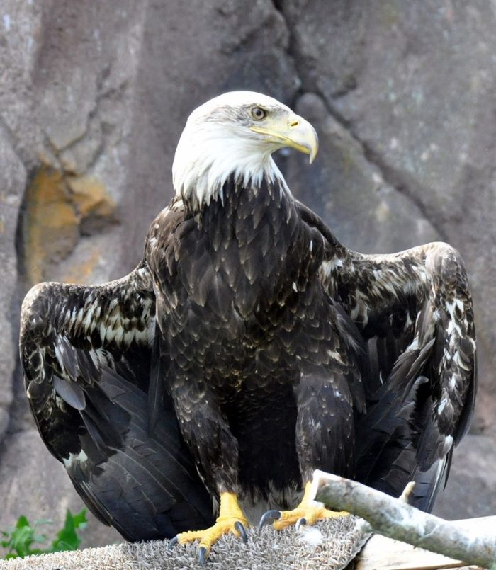 Josh the Bald Eagle is one of several birds of prey who live here.