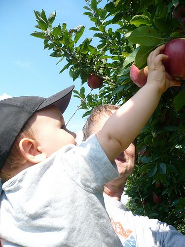 Apple picking is an activity that the whole family can enjoy.