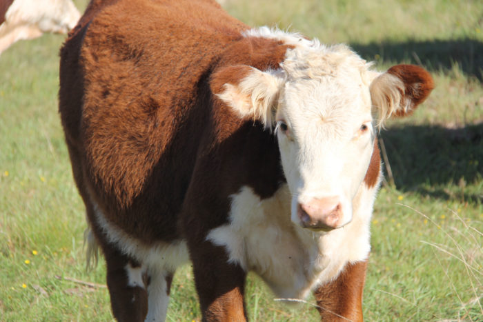 Jessica was a happy, healthy Hereford Cow.