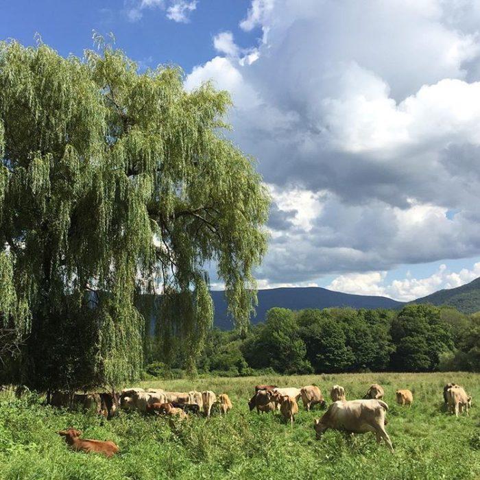 Massachusetts Farm: Drive The Berkshire Farm & Table Cheese Trail In Massachusetts