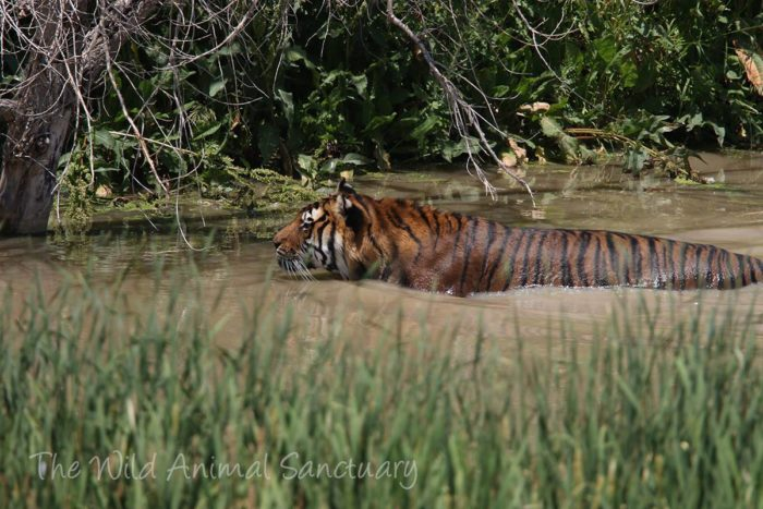 Simon enjoys a nice soak in one of the many natural lakes and ponds on site where bears and tigers love to frolic and swim.