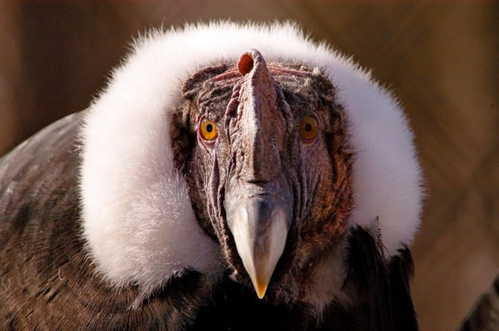 This is Andy N. Condor. He's a a 57-year-old Andean Condor with an impressive wing span.
