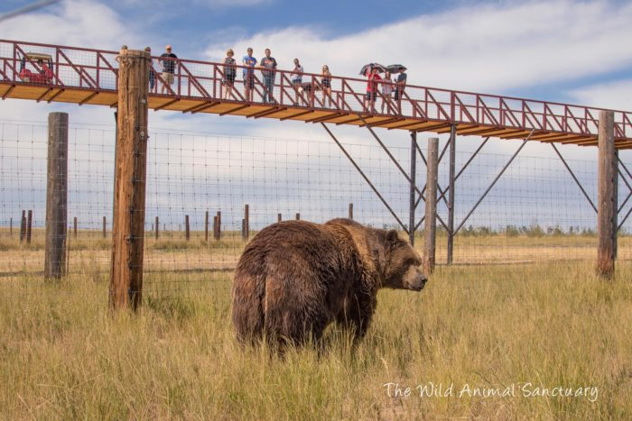 """The Wild Animal Sanctuary offers a truly unique experience with their remarkable """"Mile Into The Wild"""" elevated walkway, which travels over hundreds of acres of natural habitats containing hundreds of bears, tigers, lions, leopards, wolves, and other large carnivores."""