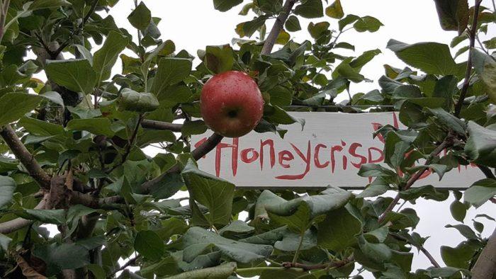 12.  Burtt's Apple Orchard, Cabot