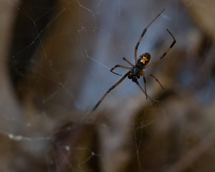 1. Virginia is home to three kinds of deadly spiders.