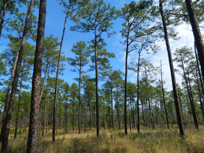 There are 14 developed campgrounds within the Ocala National Forest, but for this hike, you need to stay at the lovely Juniper Springs Recreation Area.