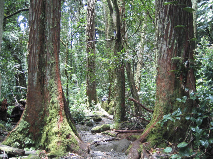 Walk through the eucalyptus robusta forest.