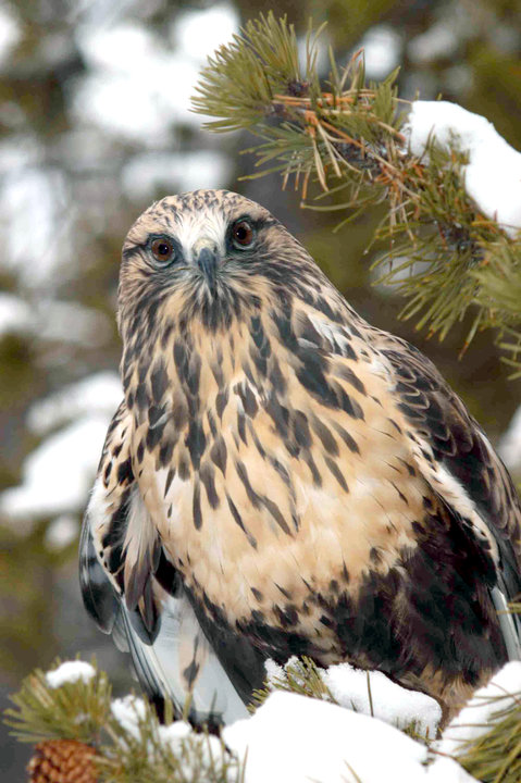 Nahani is a rough-legged hawk - another of the center's birds of prey.