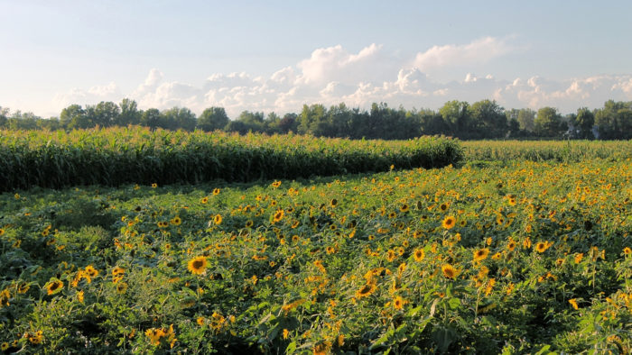 At the end of the day, there's really nothing like wandering through a field of Hadley sunflowers.