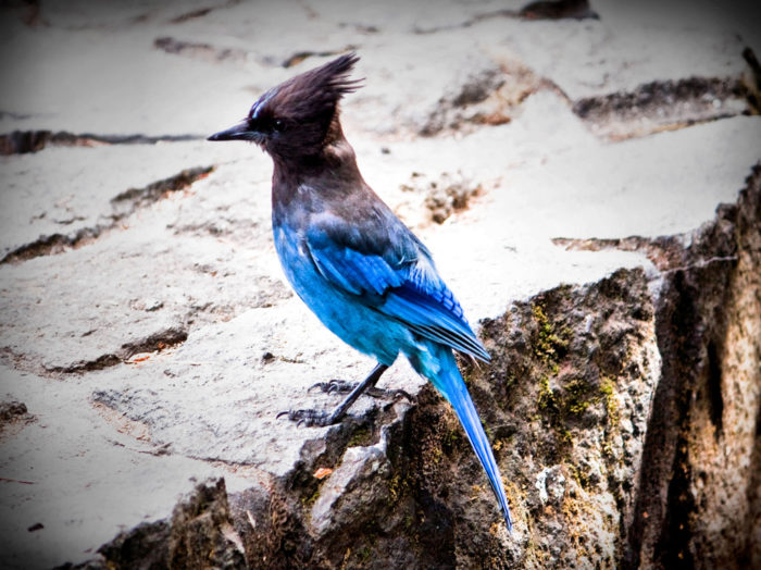 Keep an eye out for little critters along the way! Here's a photo of a Stellar Jay at Sahalie Falls.