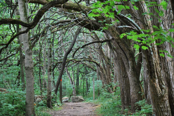 The tunnel was formed by large arching branches of old Osage orange trees, which were purposefully planted in rows in the late 1800s to serve as a farm fence.