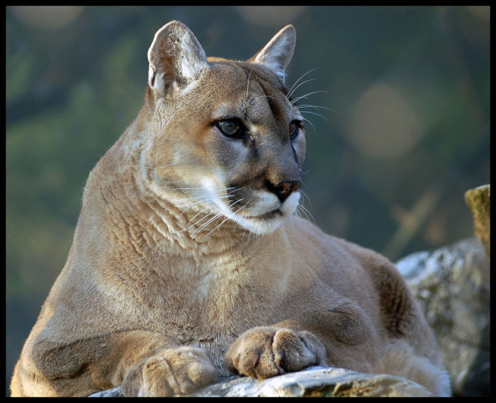 5. There's a chance that some of these wild cats still roam in Virginia's woods.
