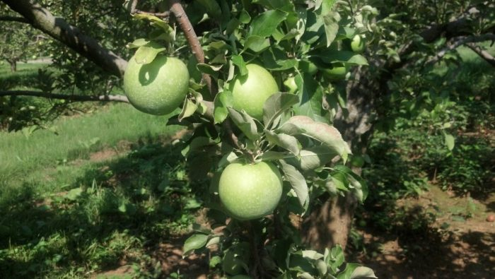3. Stribling Orchard (Markham)
