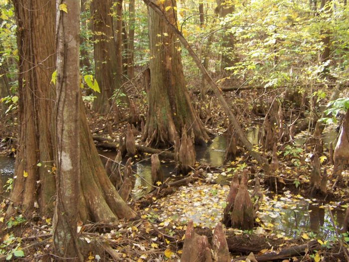 Beautiful bald cypress trees surround you in a nirvana of natural foliage.