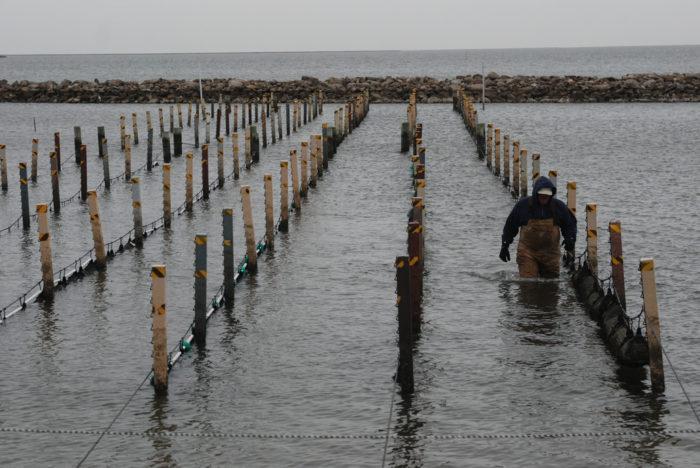 7. Oyster Season: October -April