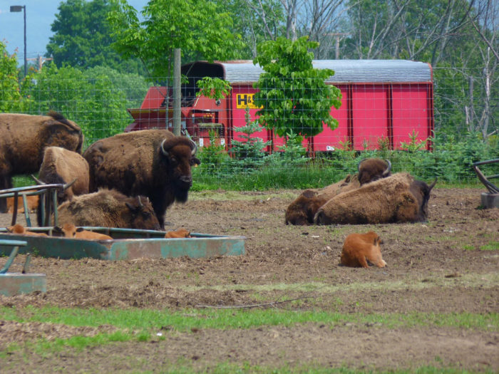 Hang out with some of the (shaggy) locals at Long Hollow Bison Farm.