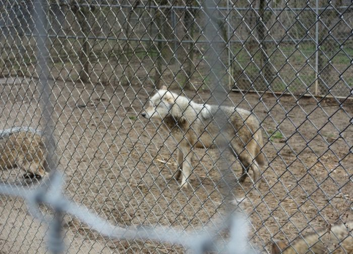 Wear your most comfortable shoes when you visit as you'll be doing a lot of walking as your guide leads you on a tour to meet the packs. (Both you and the wolves are protected by two layers of strong fencing.)