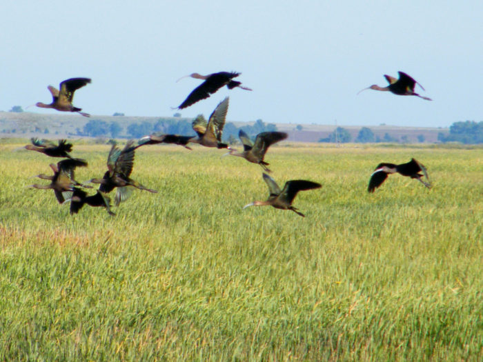In addition to its 41,000 acres of natural land sink, Cheyenne Bottoms also contains a nearly 20,000 acre wildlife area, which welcomes nearly 600,000 shorebirds (from 39 species) during spring migration and 200,000 during the fall.