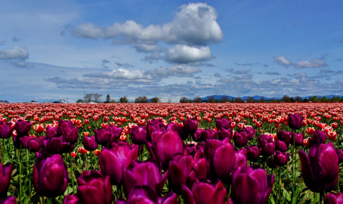 5. Spring in the Skagit Valley can't be beat.