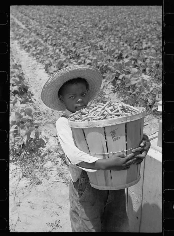 9. This young man is picking beans near Cambridge in 1937.