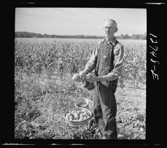 19.  Farmer with his freshly-dug potatoes near Bristol.