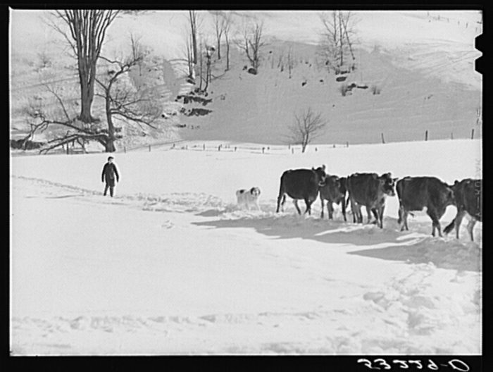 12.  Farmer's son and collie dog driving the cows back to the barn after watering them at the brook.