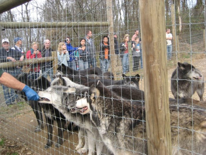 Snap photos of the wolves during your tour. However, the sanctuary rules may prohibit flash photography at times and visitors are advised to keep the pace with their group and to avoid lagging behind to take photos.