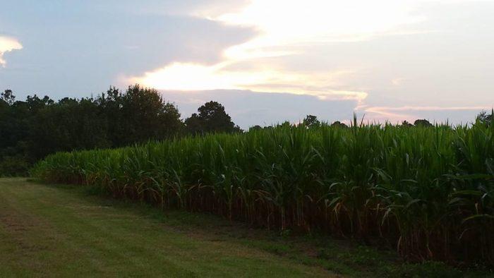 Corn Maze 5.5
