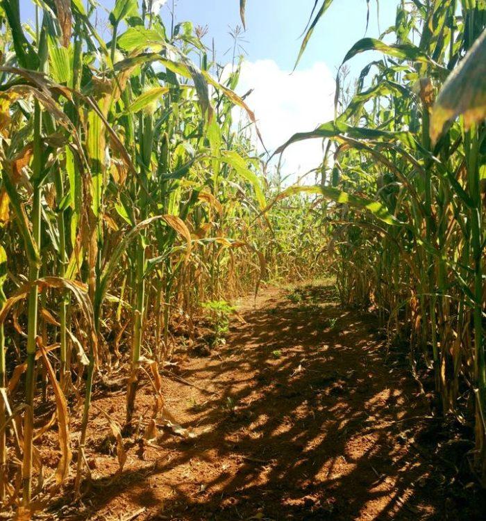 Corn Maze 8.8