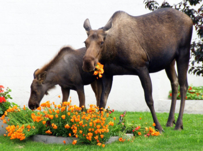 7. When you get excited about having a garden, only realize that it's just an open invitation for a moose buffet.