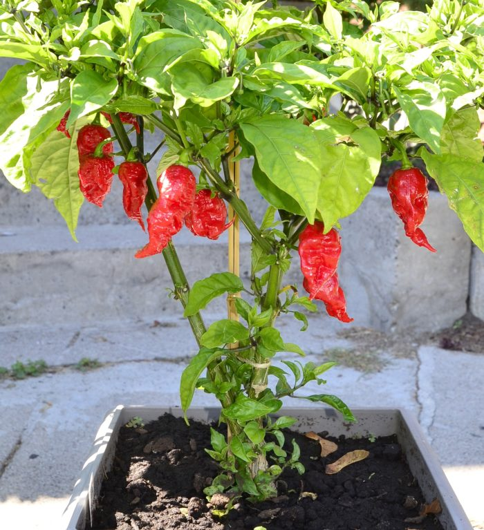 """The world's hottest pepper was created right here in Rock Hill, South Carolina by genius, Ed """"Smokin'"""" Currie. Ed owns Puckerbutt Pepper Company in Fort Mill, SC."""