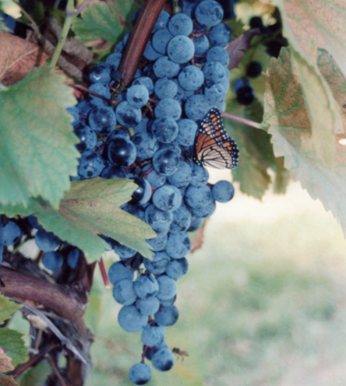 During the harvest, the Inn invites guests to pick grapes with them from the vineyard. Free wine and lunch for all who help!