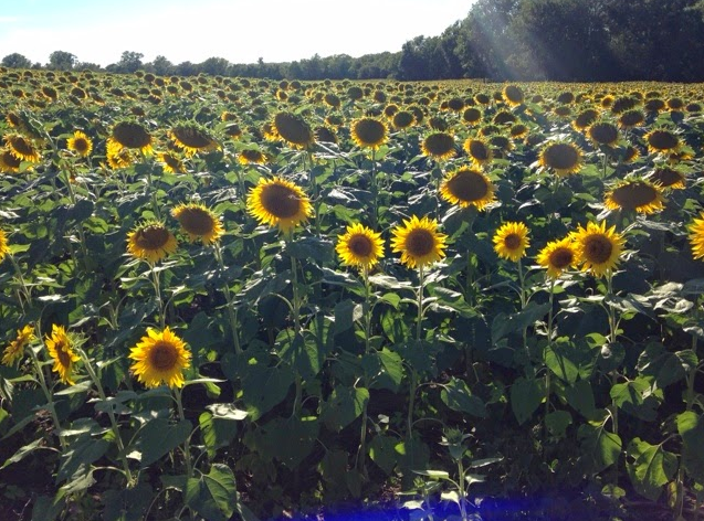 1. Ted Grinter's Sunflower Field (Lawrence)