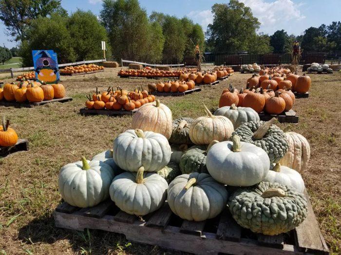 4. Shuckles Corn Maze and Pumpkin Patch - Greenbrier