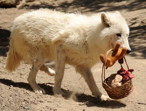 For a unique experience, sign up for a feeding tour, where you can accompany sanctuary volunteers as they give the wolves their breakfast. (Pictured wolf is actually receiving a treat basket.)