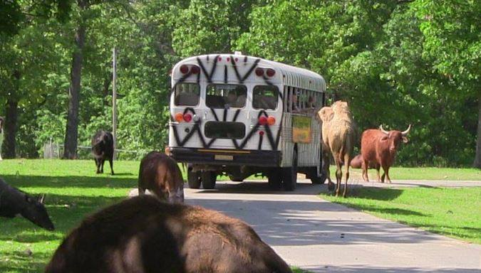 Guests can choose from taking a ride on the safari tour bus or driving through the park in their own car.