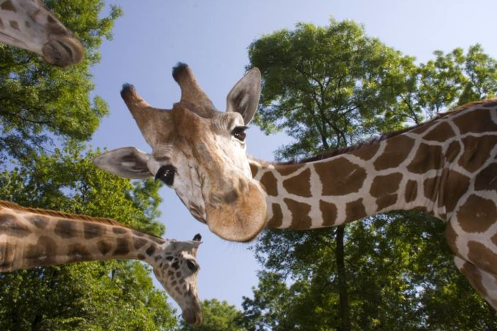 Giraffes, tigers, and monkeys await you at this safari.