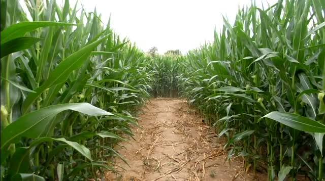 3. Wilke's Corn Maze